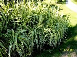 ornamental grass arondo donux grass peppermint stick reed non