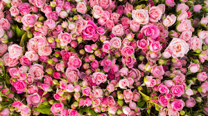 Pink Roses Wallpaper by Wallpaper Pink Roses 4k Flowers 5862