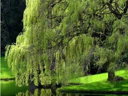 the only place for a weeping willow southern living