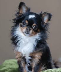 poodles long hair in winter grooming tips and hair styles for long haired chihuahua