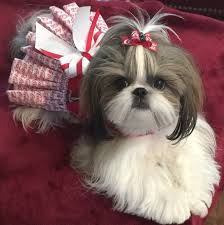 shih tzu affectionate and playful coca cola cola and girls