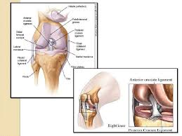 Right Knee Anatomy Anatomical Components Of The Knee