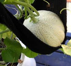 growing melons in containers u2013 plants on deck