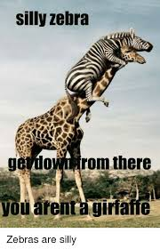 Silly Meme - silly zebra getdown rom there you arent girtame zebras are silly
