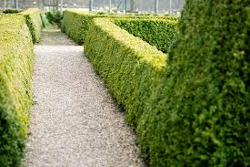 small evergreen shrub varieties