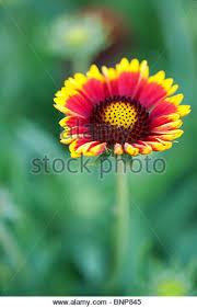 arizona flowers yellow arizona flowers stock photos yellow arizona flowers stock