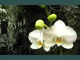 white orchids purple and white orchid flowers beautiful flower picture