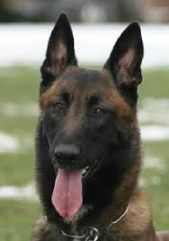 belgian malinois near me officially certified police k9 u0027s for sale malinois police