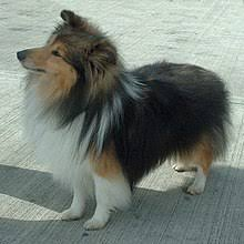 belgian sheepdog height shetland sheepdog wikipedia