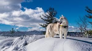 husky alaskan malamute dogs winter snow clouds animals