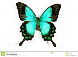 Blue And Green Butterfly - green and black butterfly 15 hd wallpaper hdblackwallpaper com