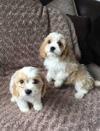 bichon frise 4 months old cute cavachon cavalier x bichon frise blenheim puppies now