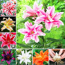 Lily Bulbs Aliexpress Com Buy 1 Bulb True Lily Bulbs Double Lily Flower