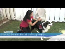 How To Get A Comfort Dog How To Prepare A Dog For Therapy Dog Training Youtube