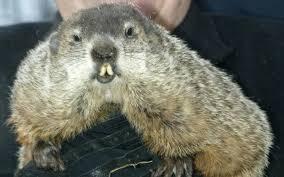groundhog punxsutawney phil famous groundhog
