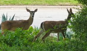 deer resistant native plants austin agrodolce june 2014