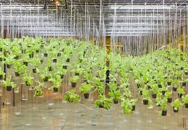 what plants can you grow hydroponically
