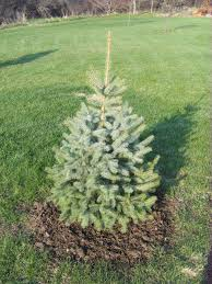 colorado blue spruce the home garden