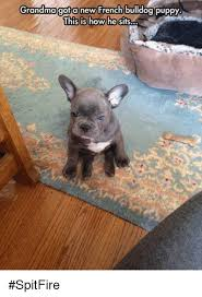 grandma a new french bulldog puppy this is how he sits spitfire