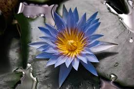 Blue Lotus Flower Meaning - blue lotus flower by pattyd1230 dpchallenge