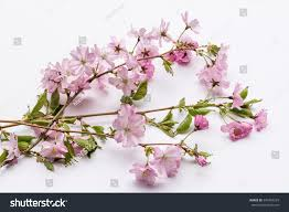 aerial view pink japanese prunus serrulata stock photo 349356293