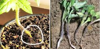 Tomato Plant Wilt Disease - tomato diseases and symptoms u2014 vikaspedia