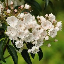kalmia latifolia franklin u0026 marshall u2013 mountain laurel kalmia latifolia