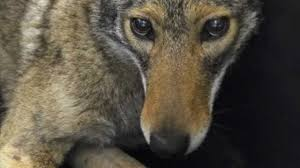 New York wild animals images Coyotes and other wild animals to become increasing nyc presence JPG