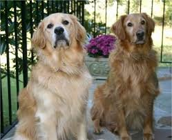 Comfort Retrievers Golden Retriever Dog Breed Information And Pictures