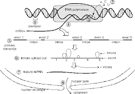Dna Rna And Protein Synthesis Worksheet Master Frameset