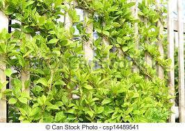 Fragrant Climbing Plant - garden design garden design with types of fragrant climbing