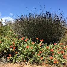 native plant nursery santa cruz low water use plants gardening tips for the santa cruz mountains