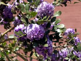 native plants in texas plant of the month texas mountain laurel sophora secundiflora