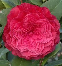 camellia flowers camellias monrovia