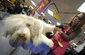 bearded collie montreal world u0027s most expensive dogs