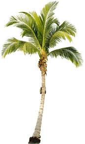 tropical palm tree png hq png image freepngimg
