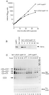 the yeast la protein is required for the 3 u2032 endonucleolytic