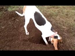 bluetick coonhound dander melody treeing walker coonhound hunting moles youtube