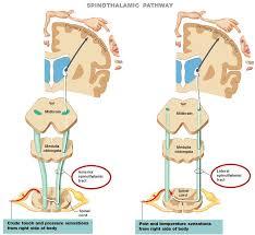 Right Side Human Anatomy Neurons U0026 Somatic Sensory Pathways Human Anatomy And Physiology