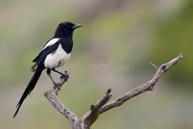 imagenes del animal urraca urraca imagen de archivo imagen de animal pluma ornitología