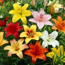 Lilies Flower Lily Flower Bulbs Lillies Lilium American Meadows