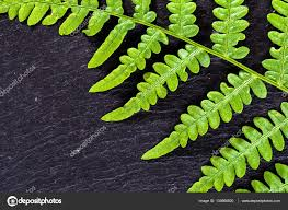 fractal pattern in nature green leaf texture fern on black background sacred geometry in