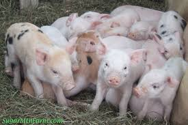 keeping a pig for meat sugar mountain farm