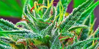 marijuana trichomes the best video explaination about cannabis trichomes