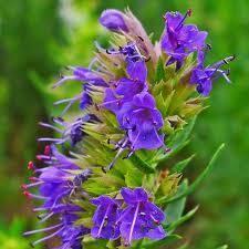 hysope cuisine hysope conseil jardinage application en phytothérapie et