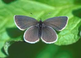 small blue cupido minimus