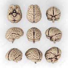 3d Head Anatomy Brain Anatomy Stock Photos Royalty Free Brain Anatomy Images And