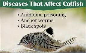 types of aquarium catfish