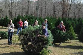christmas tree selecting tips beavers christmas tree farm