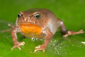 lowland frogs at greater risk from climate warming than high
